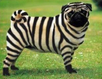 zebra pug 1